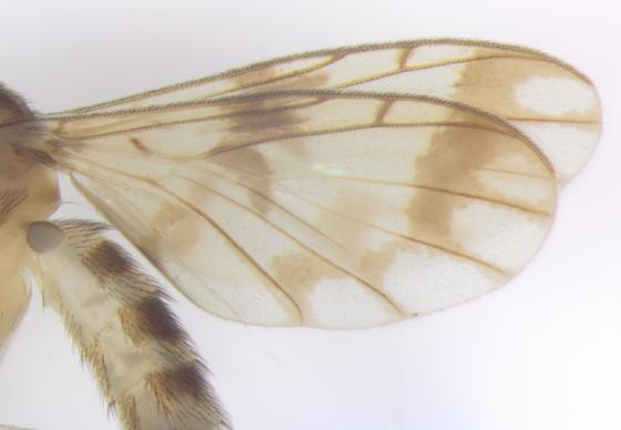 Keroplatidae, Predatory Fungus Gnat, wings - Proceroplatus elegans - male