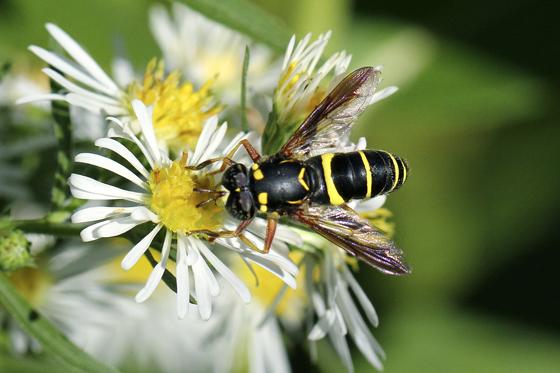 Fly - Spilomyia sayi