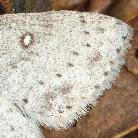 White Moth w/ Brown Markings - Cyclophora pendulinaria