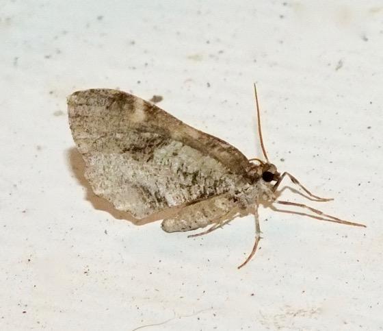Shiny Gray Carpet Moth - Stamnodes gibbicostata