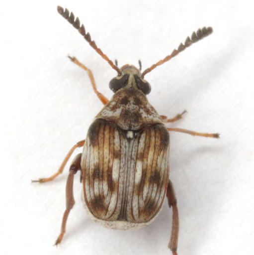 Megacerus cubiculus (Casey) - Megacerus cubiculus - female