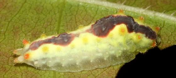 Adoneta spinuloides? - Adoneta spinuloides