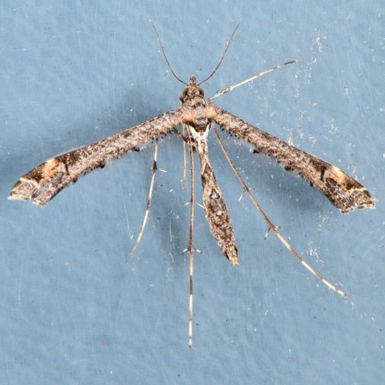 6117  - Anstenoptilia marmarodactyla