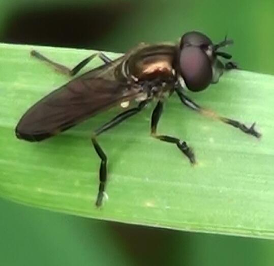 Syrphid Fly (Xylotini)? - Pyrophaena granditarsis