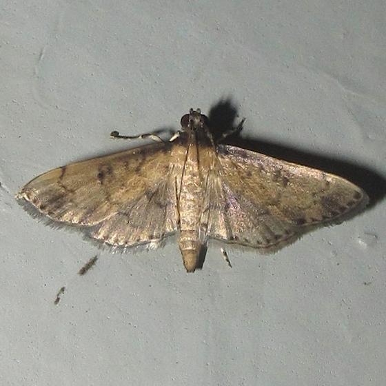 Hodges #5178.5  - Nacoleia charesalis