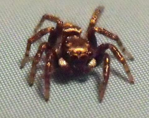 Small jumper - Anasaitis canosa