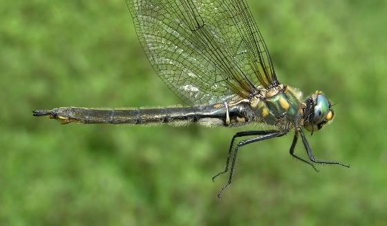 Mountain Emerald - Somatochlora semicircularis - female