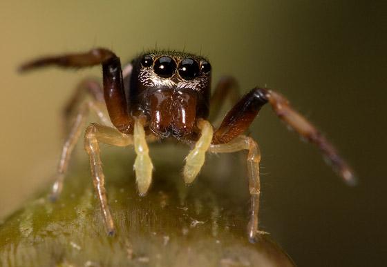 Subadult ziggy - Zygoballus rufipes - male