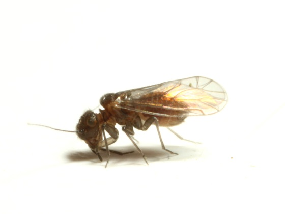 Ectopsocus vachoni - female