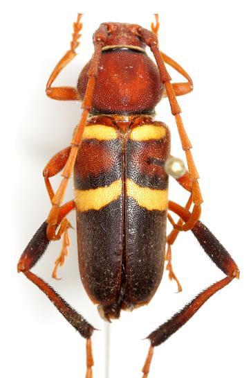 Aethecerinus wilsonii (Horn) - Aethecerinus wilsonii