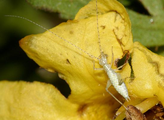 Tree Cricket Nymph - Oecanthus fultoni