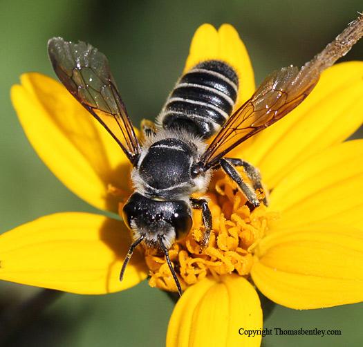Megachilid Bee - Megachile zaptlana