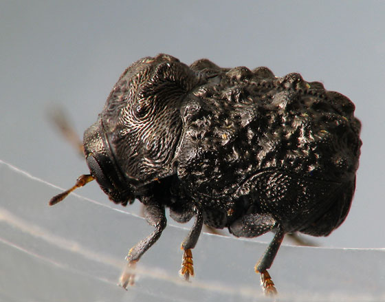 Warty Leaf Beetle lateral view - Exema