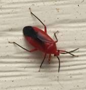 red bug - Coccobaphes frontifer