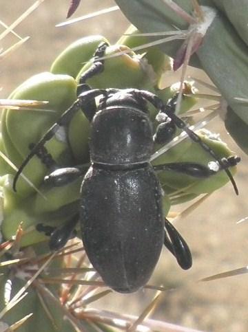 Black Beetle on Cholla Cactus - Moneilema armatum