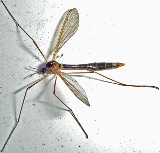 One dark Crane Fly - Liogma nodicornis