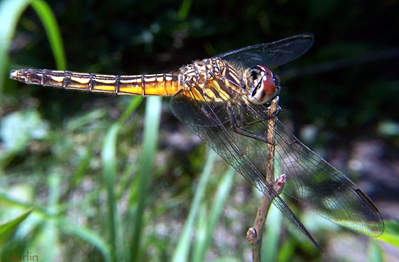 Dragonfly - Pachydiplax longipennis - female