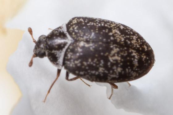 Museum Beetle ? - Anthrenus museorum
