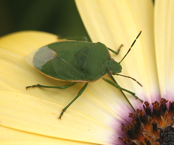 Green Stink Bug - Chlorochroa granulosa
