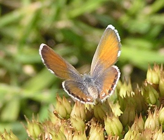 Western Pygmy Blue, perhaps? - Brephidium exilis - female