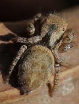 Jumping Spider - Habronattus californicus - female