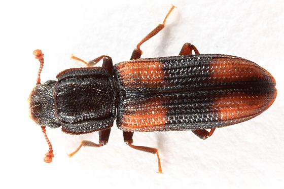 Cylindrical Bark Beetle - Bitoma crenata