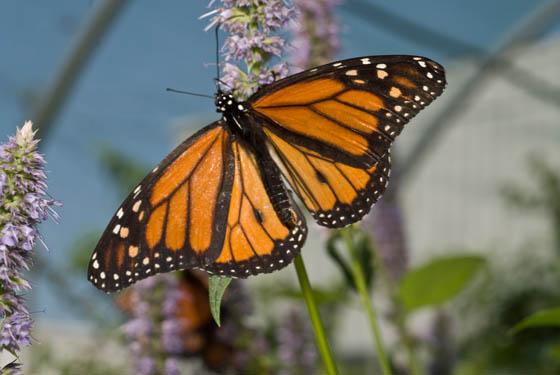 Danaus plexippus - Monarch - Danaus plexippus - male