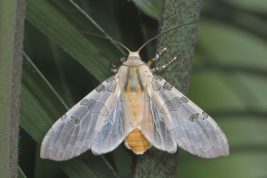 Florida tussock moth - Halysidota cinctipes