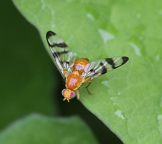 Fruit Fly - Rhagoletis completa