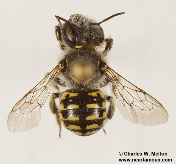 Anthidium - female