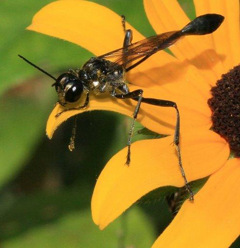 Eremnophila aureonotata? - Eremnophila aureonotata