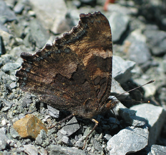 California Tortoiseshell - Nymphalis californica