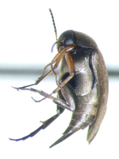Mordellistena - Mordellistena picipennis