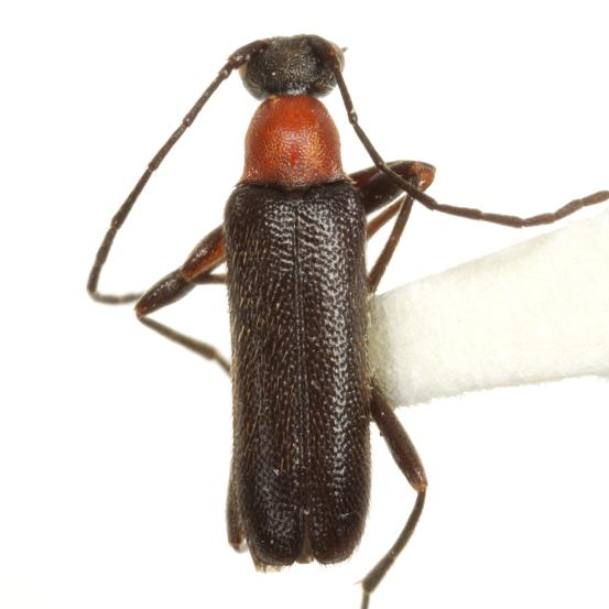 Grammoptera haematites  (Newman) - Grammoptera haematites