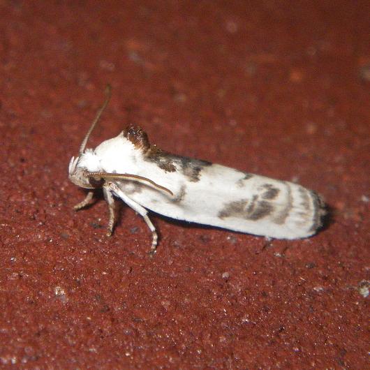 BWS - Antaeotricha