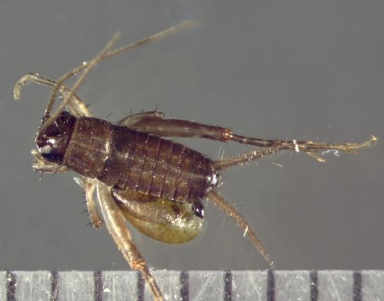 Rhopalosomatidae parasitoid larva & cricket