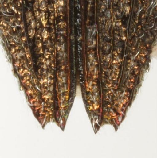 Dicerca lurida (Fabricius) - Dicerca lurida