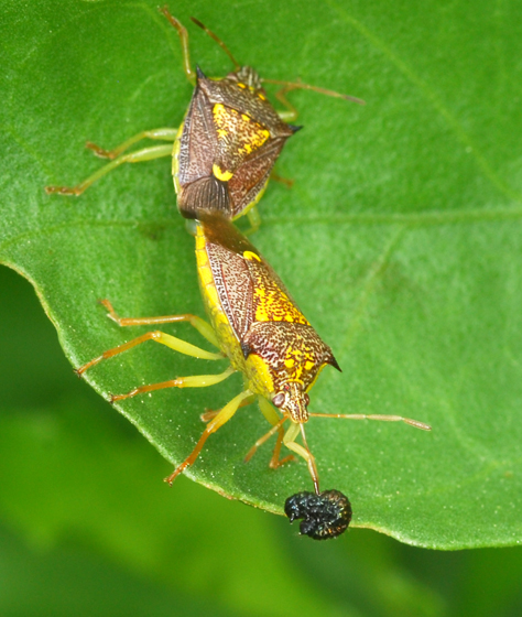 stink bugs - Conquistator mucronatus - male - female