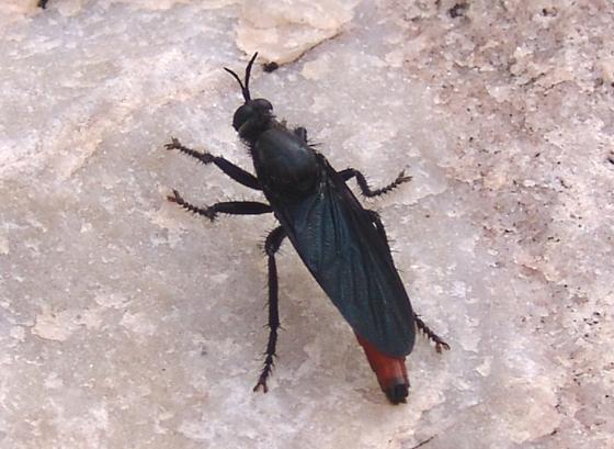 Robber fly - Ospriocerus