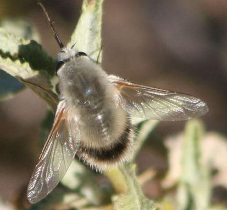 unknown bee fly - Anastoechus hessei