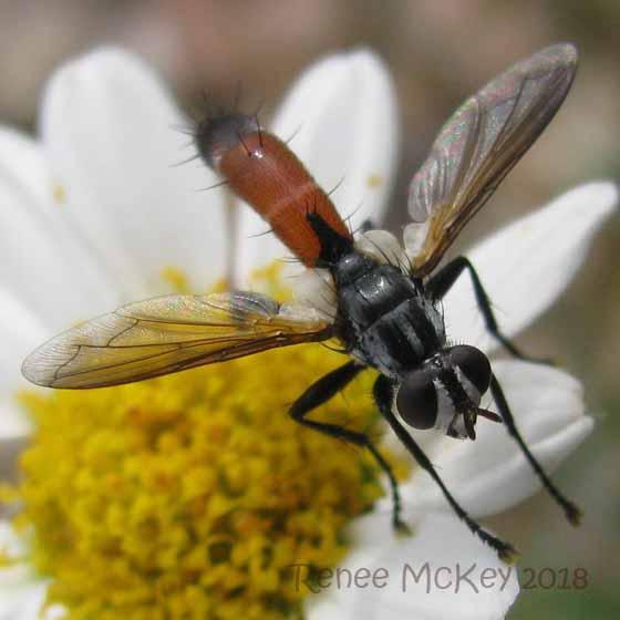 Cylindromyia sp - Cylindromyia intermedia