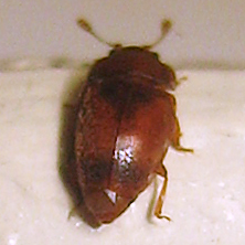 Epuraea erichsoni - Epuraea pallescens - male