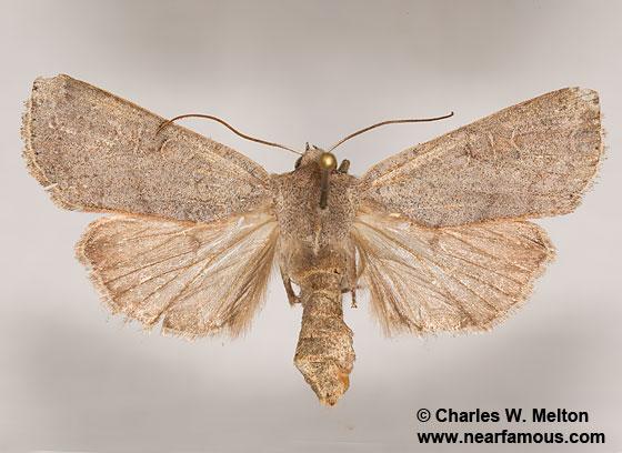 Richia chortalis - female