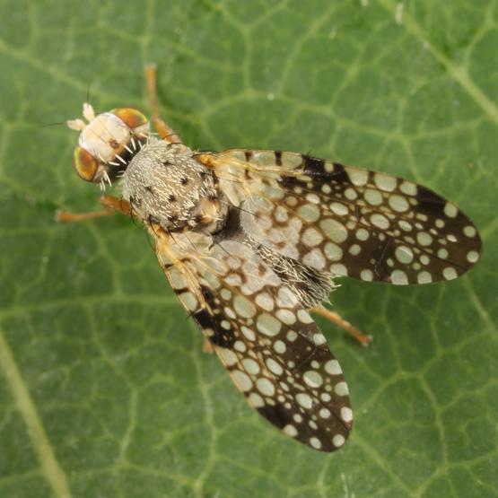 Euaresta sp.? - Campiglossa albiceps