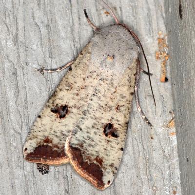 Green Cutworm Moth - Hodges #10911 - Anicla infecta