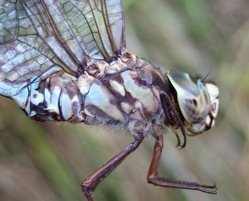 Mottled Darner - Aeshna clepsydra - male