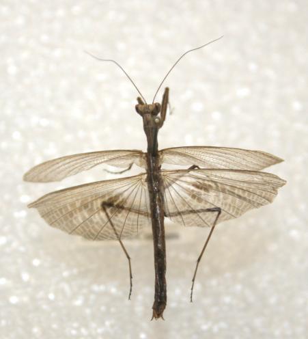 Ground Mantid - Litaneutria minor - male