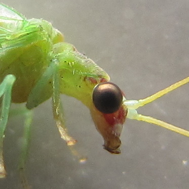 Green lacewing with reddish-bordered pale dorsal stripe - Chrysoperla rufilabris