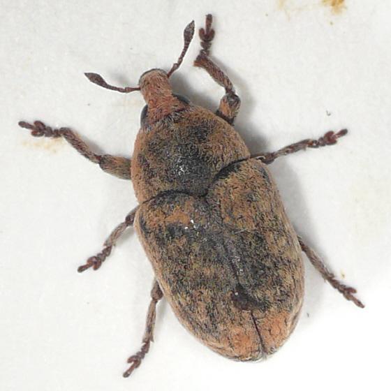 Larinus from BC (1) 10.07.12 - Larinus minutus