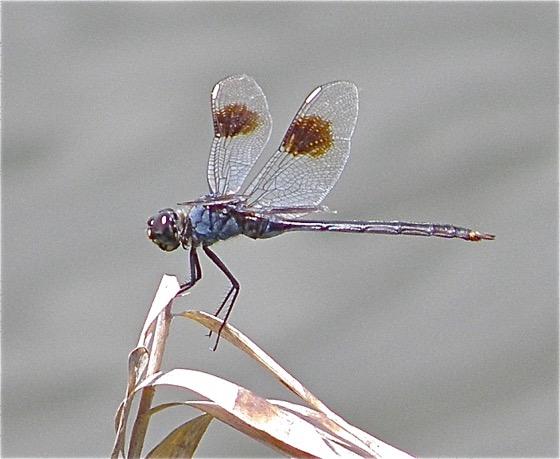 Four-spotted Pennant - Brachymesia gravida - male